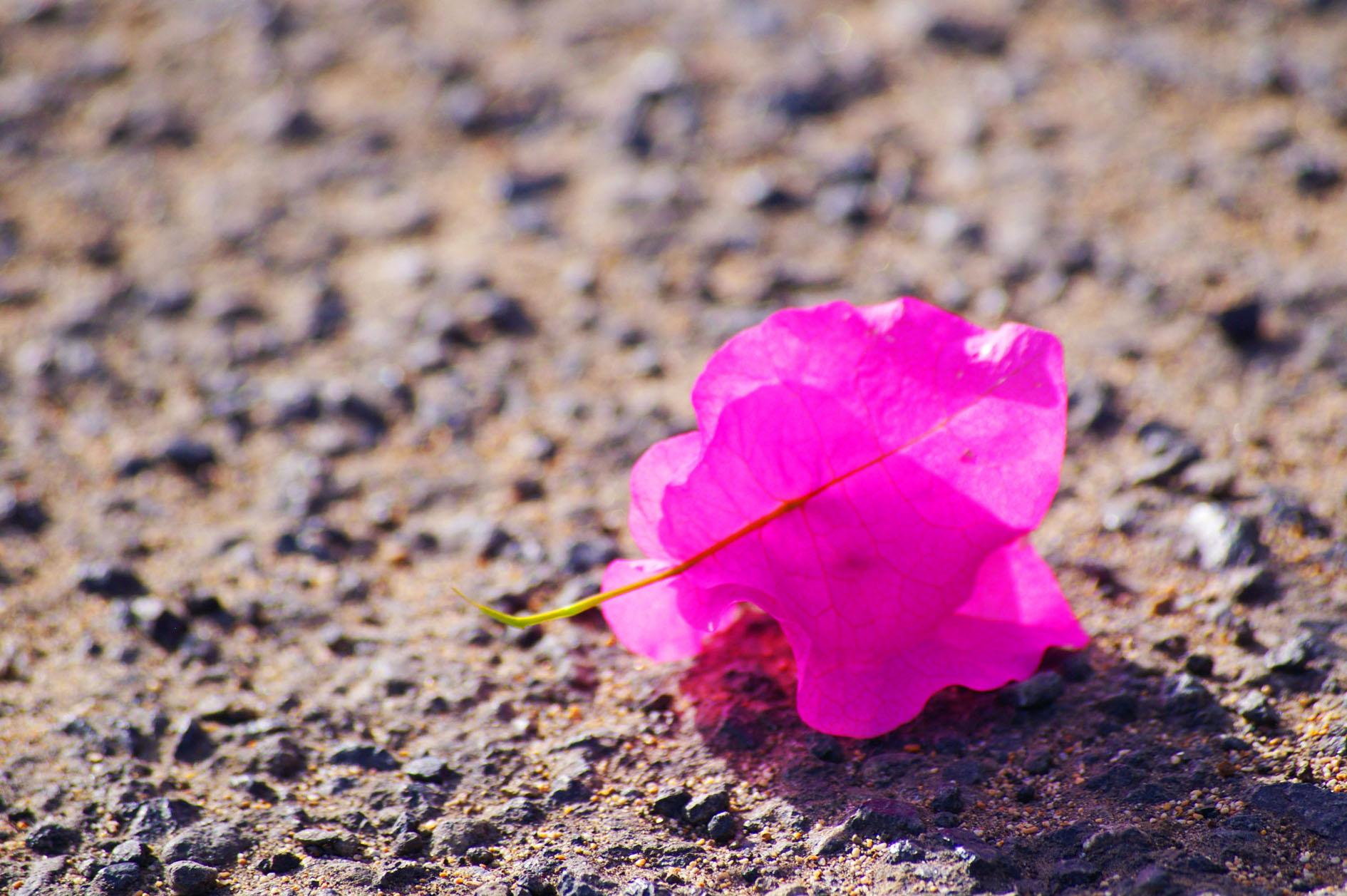 fleur rose b